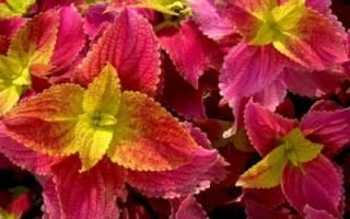 Комнатный цветок крапивка