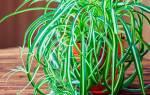 Хлорофитум уход в домашних