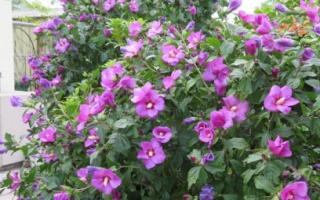 Гибискус кустарник