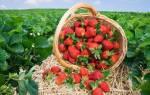 Садовая клубника сорта