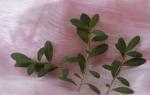 Как размножается азалия