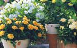 Чтобы розы обильно цвели