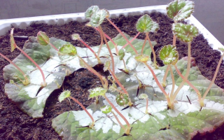 Как размножить бегонию листом