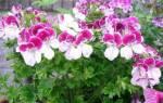 Пеларгония крупноцветковая