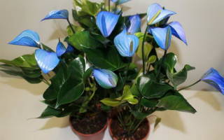 Как выглядит цветок антуриум