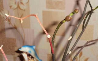 Как вырастить детку орхидеи