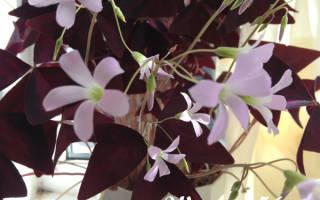 Цветок с бордовыми листьями название