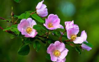 Цветущий шиповник