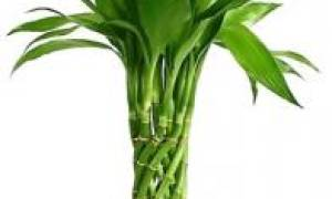 Бамбук в домашних условиях в воде