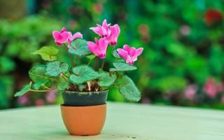 Цикломения цветок уход пересадка
