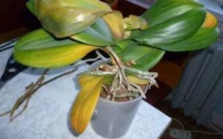У фаленопсиса желтеют листья