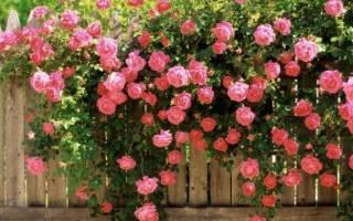 Какие бывают виды роз