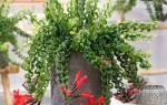 Эсхинантус прекрасный