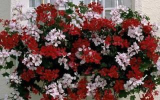 Ампельные цветы для кашпо