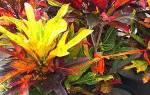Кратон цветок уход