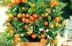 Выращивание апельсина из косточки в домашних условиях