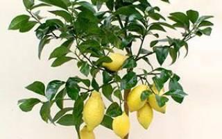 Как выглядит росток лимона