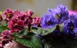 Фиалки уход и размножение в домашних условиях