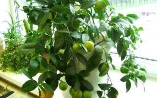 Цитрусовые домашние растения