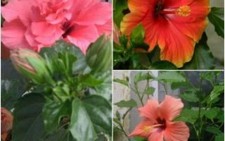 Домашний цветок гибискус