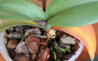 Почему сохнет орхидея