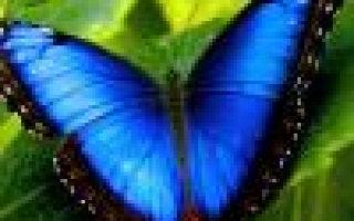 Пион травянистый