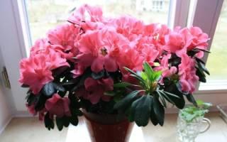 Вечноцветущие комнатные растения