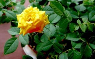 Выращивание роз в домашних условиях