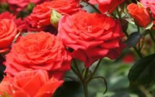 Что делать если не цветет роза