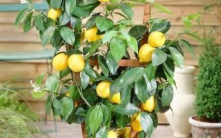 Комнатный лимон уход в домашних условиях