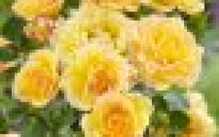 Уход за почвопокровными розами