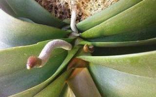 Как у орхидеи отличить корень от цветоноса