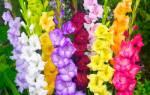 Гладиолусы уход и выращивание