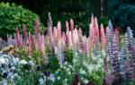 Как вырастить люпин многолетний из семян