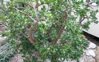 Крассула сбрасывает листья почему