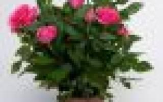 Роза кордана микс как ухаживать