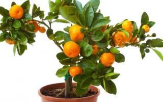 Грунт для мандарина в домашних условиях