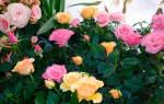 Комнатная роза уход