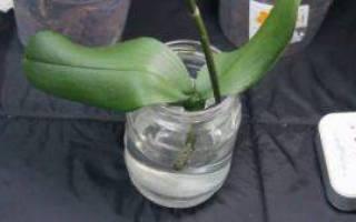 Орхидея без корней как спасти