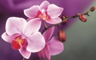 Сколько живет орхидея в домашних условиях