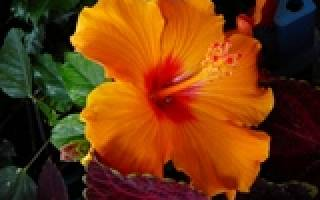 Гибискус садовый в беларуси