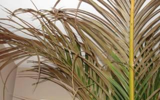 Почему желтеют листья у пальмы комнатной