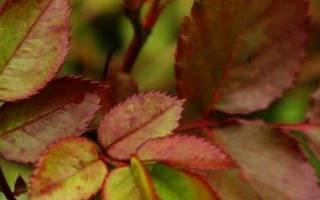 Почему у розы красные листья