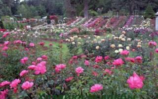 Как из веточки вырастить розу