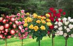 Штамбовая роза уход