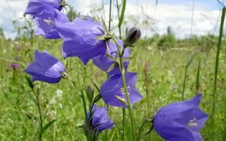 Цветы похожие на колокольчики