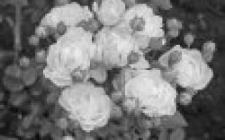 Розы флорибунда лучшие сорта