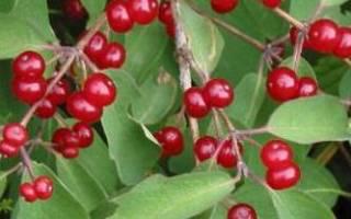 Красная маленькая ягода