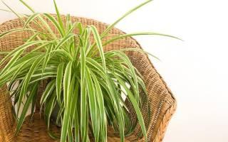 Ампельные домашние растения