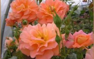 Westerland роза